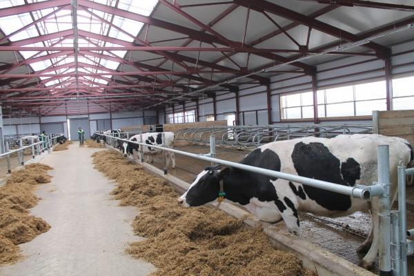 быстровозводимая молочная ферма