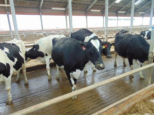 коровы без привязи