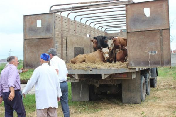 перевозка коров