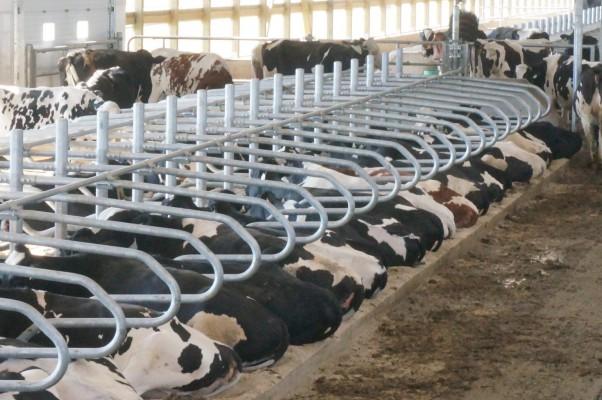 стойла для коров на ферме