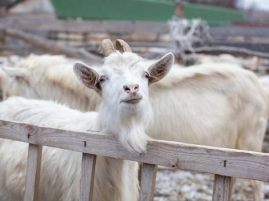 коза на выгуле