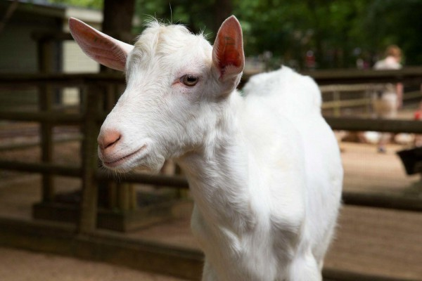 молочная коза заанесенской породы