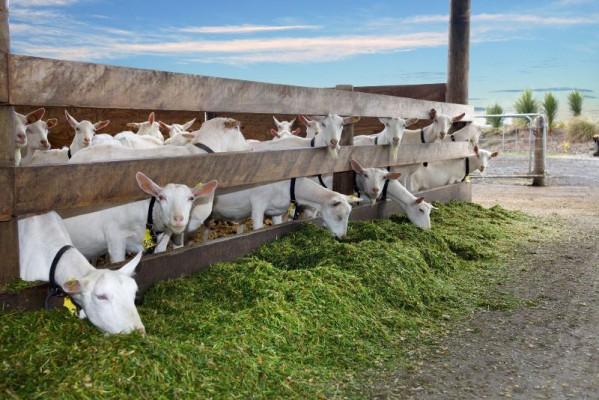 группа коз на свежем воздухе