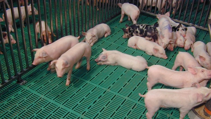 щелевые полы для свиней