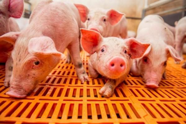 щелевые полы в свинокомплексе